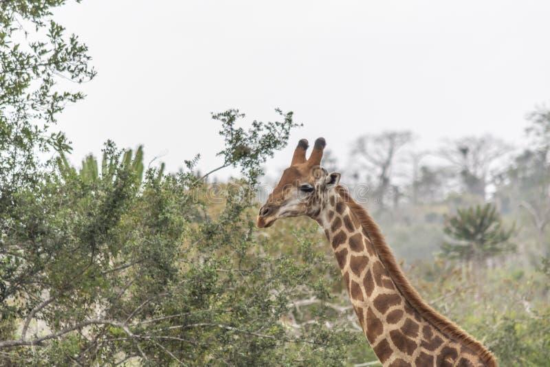 Tema del safari, jirafa africana en el hábitat natural, Angola fotos de archivo