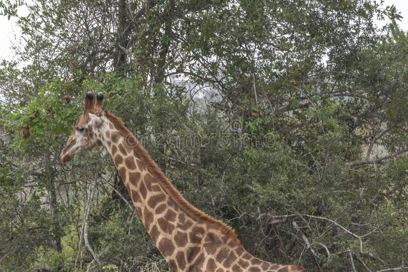 Tema di safari, giraffa africana in habitat naturale, paesaggio tropicale su fondo, savanna, Botswana fotografie stock libere da diritti
