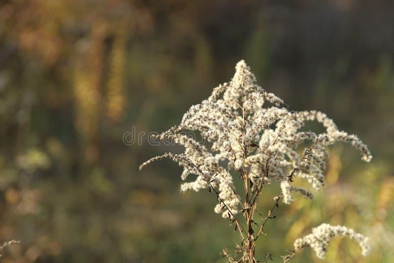 Tema do outono Inflorescência macia branca no fundo do bokeh da floresta do outono fotografia de stock royalty free