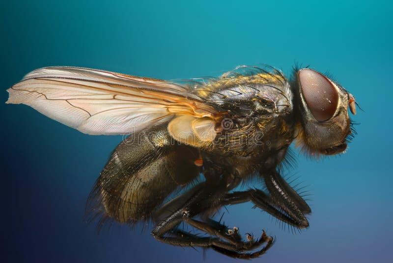 Tema estremo di macrofotografia e di acutezza: ritratto del primo piano di una mosca nello studio su un fondo blu fotografie stock