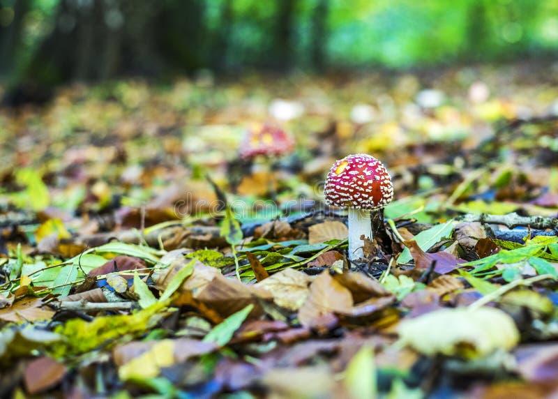 Temat jesienny z czerwonymi grzybami i lasami liściastymi zdjęcia royalty free
