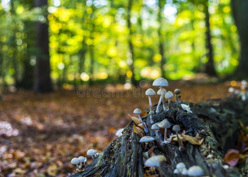 Temat jesienny z grzybami i słonecznym lasem zdjęcie stock
