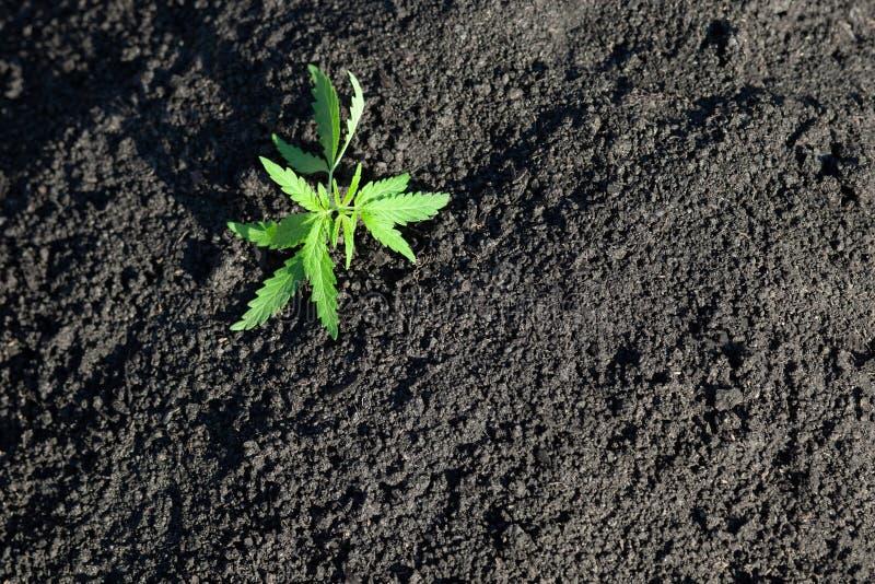 Tematiskt foto som legaliserar en v?xthampa L?g teknisk cultivar f?r THC med inget drogv?rde Cannabisplanta som odlas av hampa royaltyfria bilder