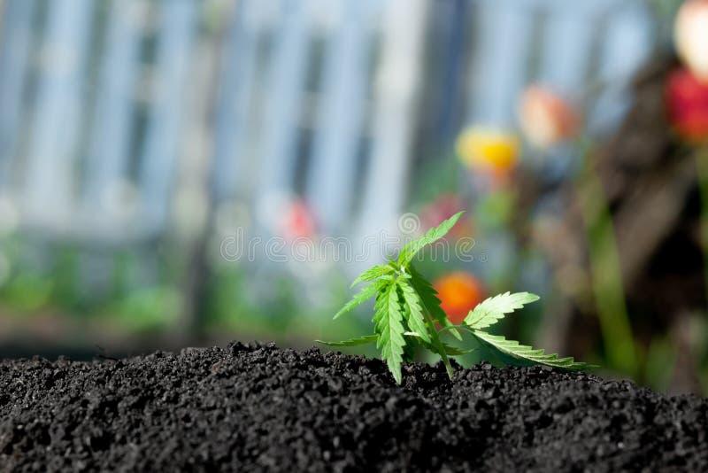 Tematiskt foto som legaliserar en v?xthampa L?g teknisk cultivar f?r THC med inget drogv?rde Cannabisplanta som odlas av hampa royaltyfri foto