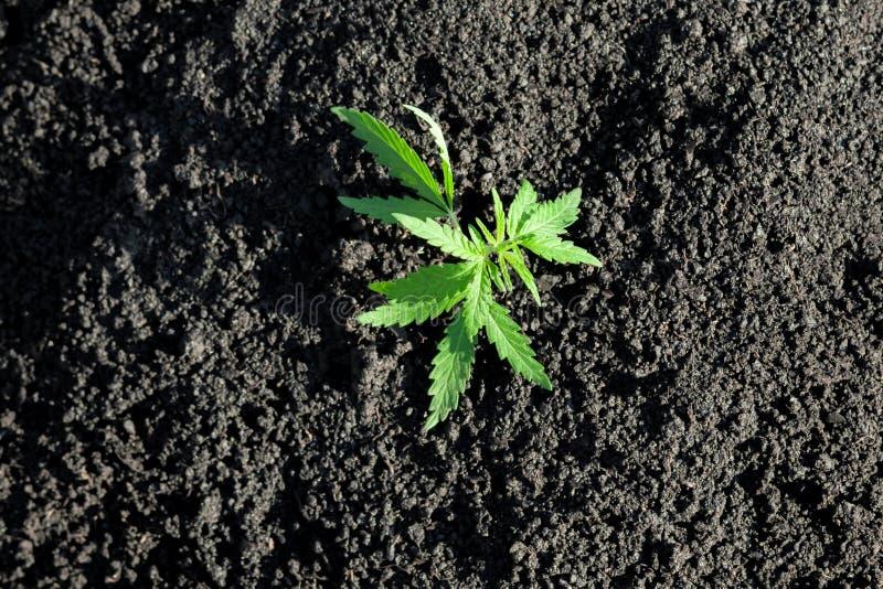 Tematowa fotografia legalizowa? ro?lina konopie Depresji THC techniczny cultivar bez lek warto?ci Marihuany rozsada, kultywuj?ca  zdjęcie stock