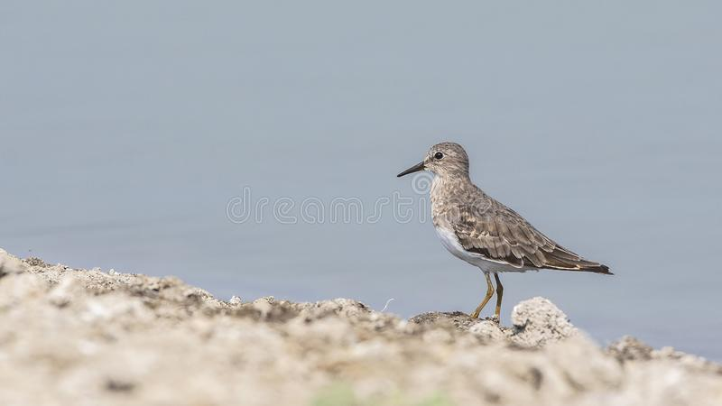 Temminck`s Stint Standing Still on the Shore stock photography