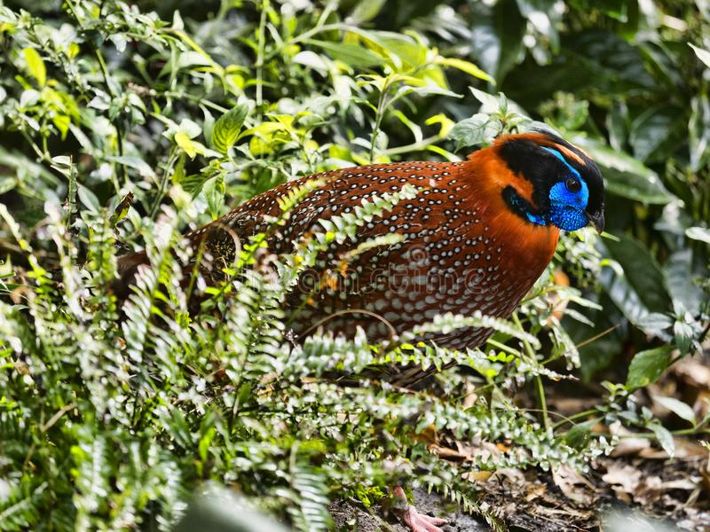 Temminck`s Tragopan, Tragopan temminckii, is probably the most beautiful pheasant. The Temminck`s Tragopan, Tragopan temminckii, is probably the most beautiful royalty free stock photo