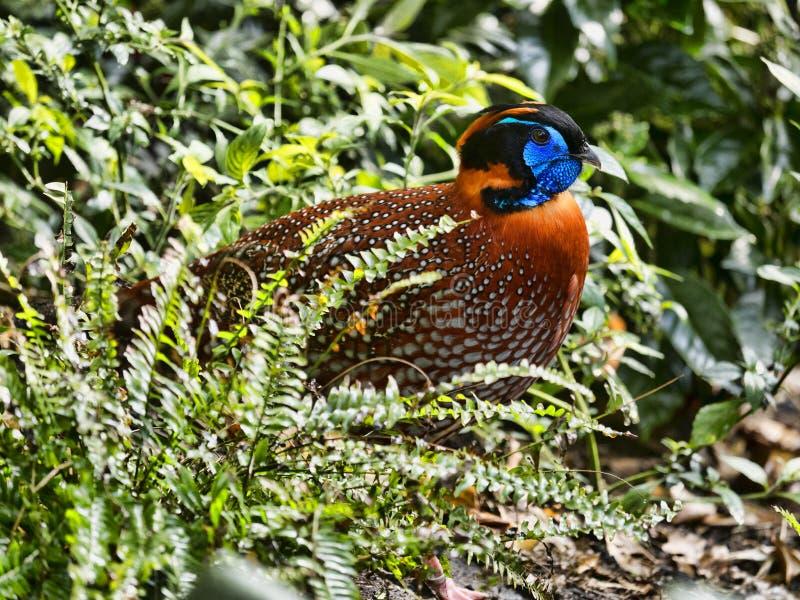 Temminck ` s Tragopan, Tragopan-temminckii, is waarschijnlijk de mooiste fazant stock afbeeldingen