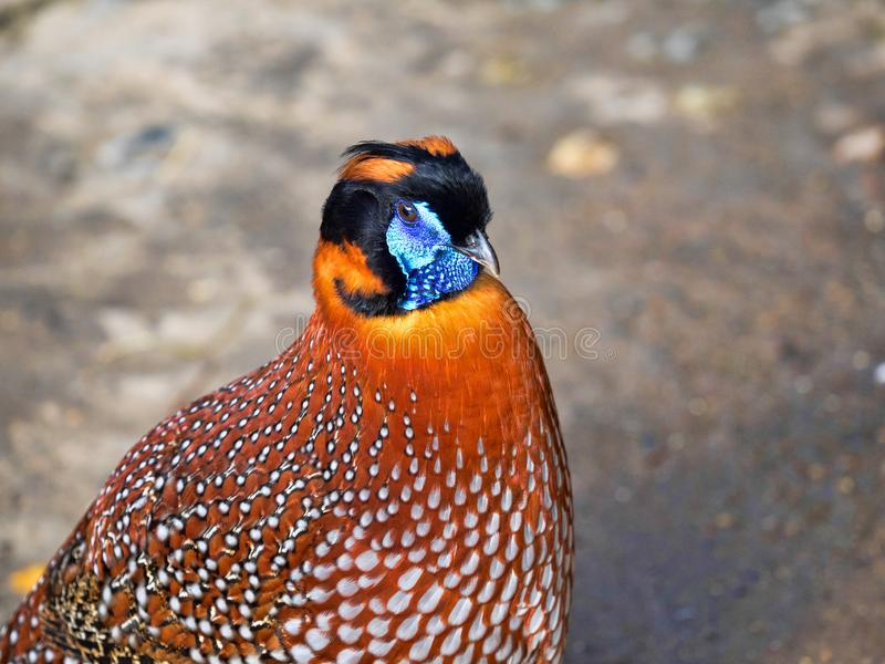 Temminck`s Tragopan, Tragopan temminckii, is probably the most beautiful pheasant. The Temminck`s Tragopan, Tragopan temminckii, is probably the most beautiful royalty free stock photos
