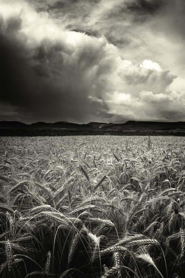 Tempête au-dessus d'une zone de blé photographie stock