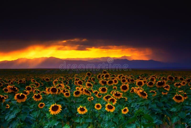 Tempêtes, tournesols, et couchers du soleil photo libre de droits
