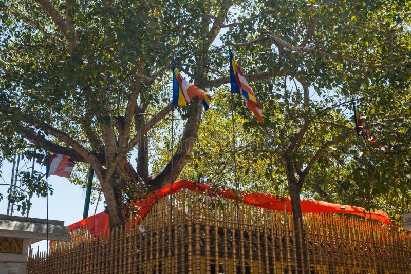 Tempel av Sri Maha Bodhi det äldsta planterade trädet, Anuradhapura royaltyfria bilder