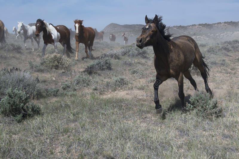 Temperamentvolle Rappe, die an einem Galopp vor der Herde läuft stockfoto