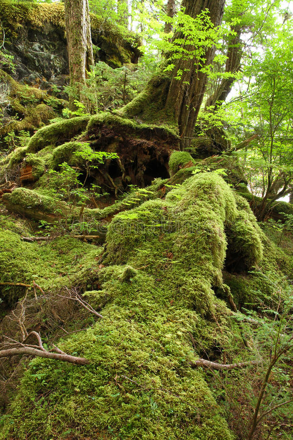Temperate Rainforest. In the Tongass National Forest, Southeast Alaska stock photo