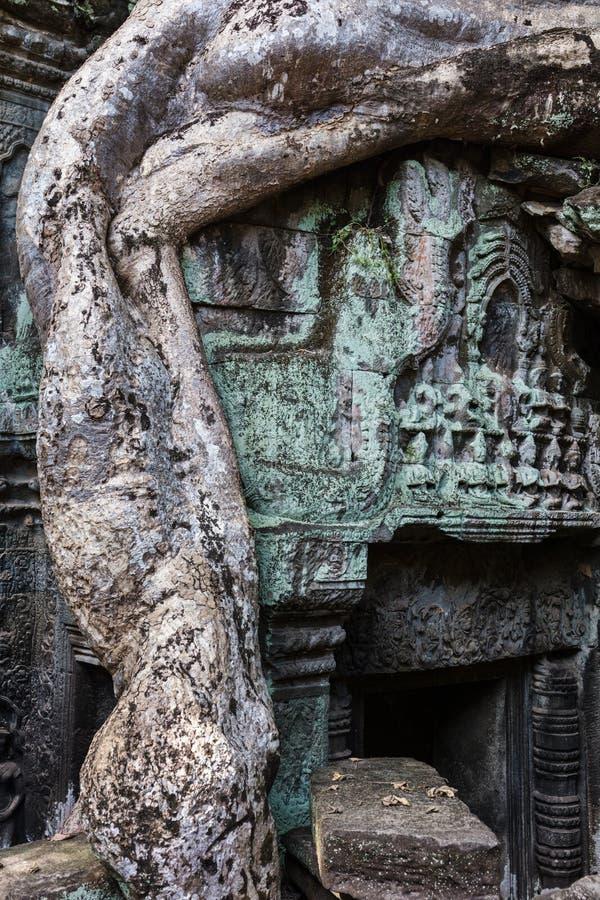 Tempio di Prohm di tum con l'albero di banyan immagine stock libera da diritti