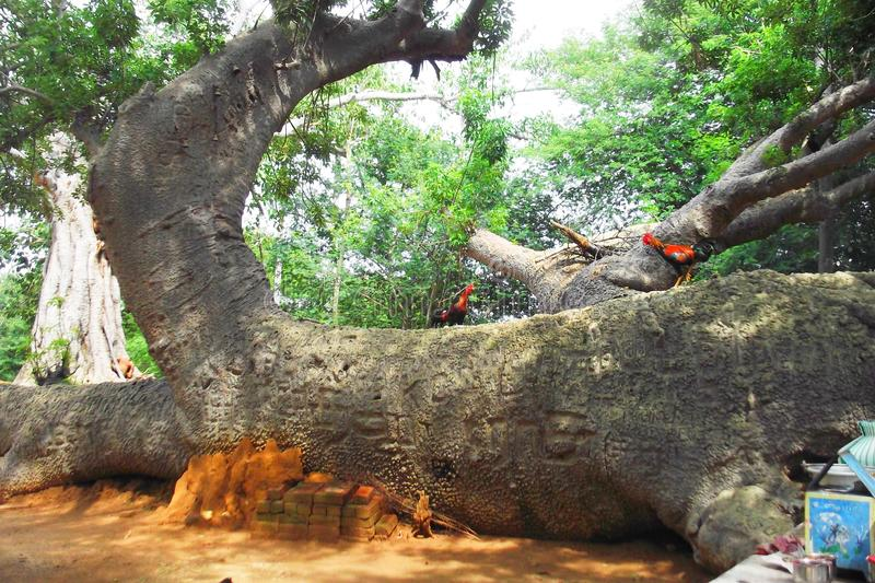 Tempio sconosciuto del perillamaram dell'albero di nome in vediyarendal immagine stock libera da diritti