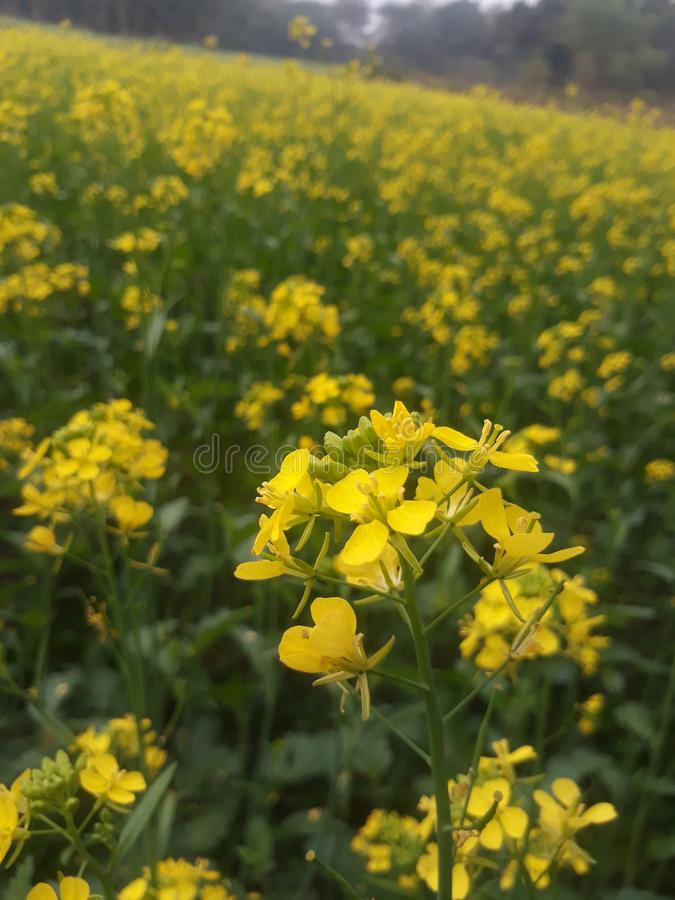 Mustard field with fresh green plants. This temple is of Lord Shiva. It is located in Siwan district of Bihar state, India. This primeval temple stock photo