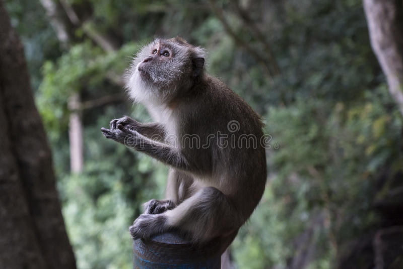Temple monkey sitting in the jungle of Wat Thama Sua, Krabi, Tha. Grey temple monkey sitting in the jungle of Wat Thama Sua, Krabi, Thailand royalty free stock image