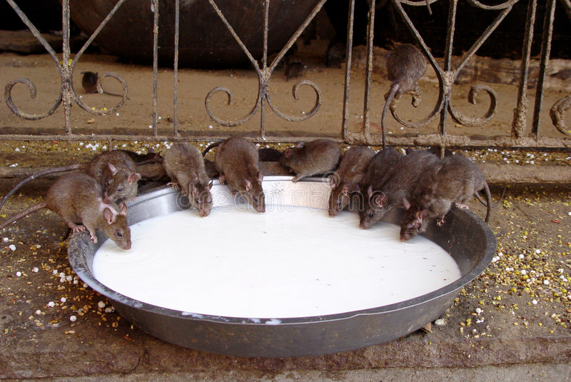 Temple Rats stock image
