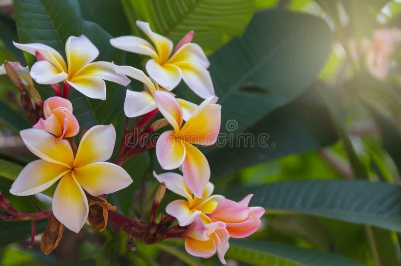 Temple tree, Pagoda tree, Frangipani  blooming on a tree. royalty free stock image
