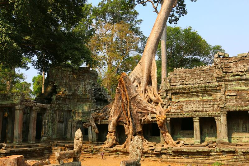 Templet för Ta Prohm i Angkor Wat, träd på templet fördärvar, Cambodi royaltyfri foto