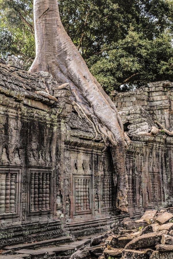 Templet för Ta Prohm i Angkor Wat, träd på templet fördärvar, Cambodi royaltyfri fotografi