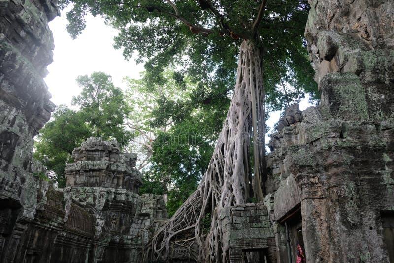 Templo de TA Prohm en Angkor, Camboya fotos de archivo libres de regalías