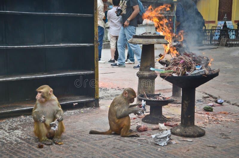 Templo do macaco em Nepal foto de stock