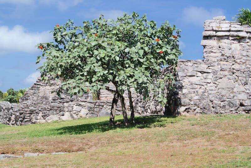 Templo maia impressionante da árvore em México imagens de stock