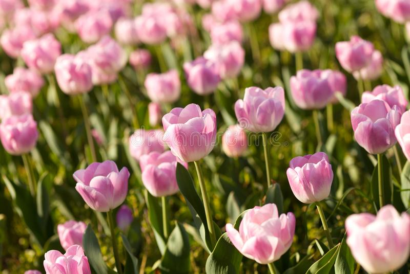 Tempo cor-de-rosa bonito das tulipas na primavera foto de stock royalty free