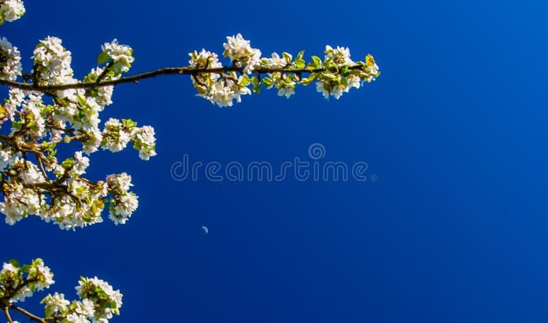 Tempo da flor de Aplle outra vez foto de stock