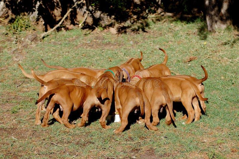 Tempo de alimentação do filhote de cachorro imagem de stock royalty free