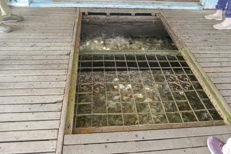 Tempo de alimentação na piscicultura do tilapia fotos de stock royalty free