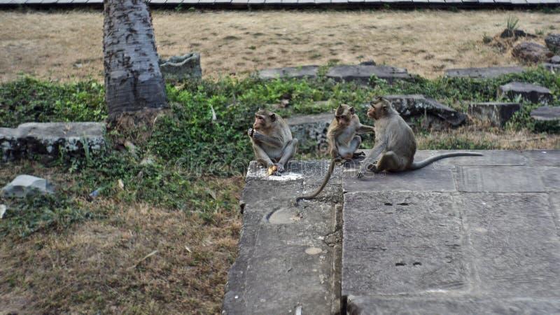 Tempo de café da manhã do macaco, Siem Reap, Camboja fotos de stock