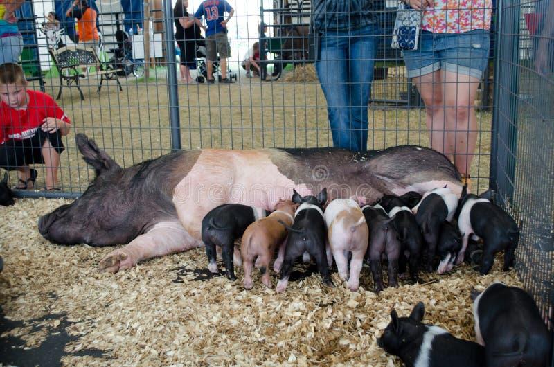 Tempo de jantar para porcos fotos de stock