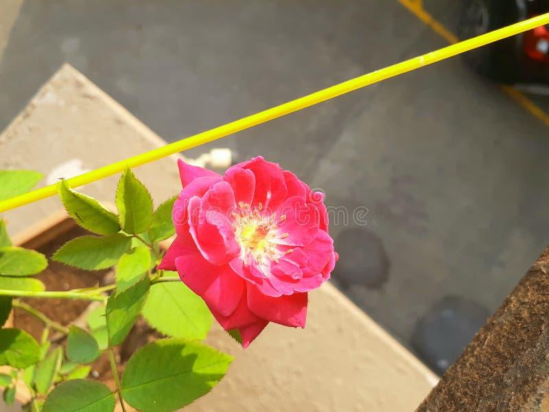 Tempo de manhã da beleza de Rosa foto de stock