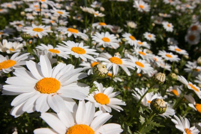Tempo de mola Istambul no abril de 2019, Daisy Flowers bonito, Daisy Field fotografia de stock royalty free