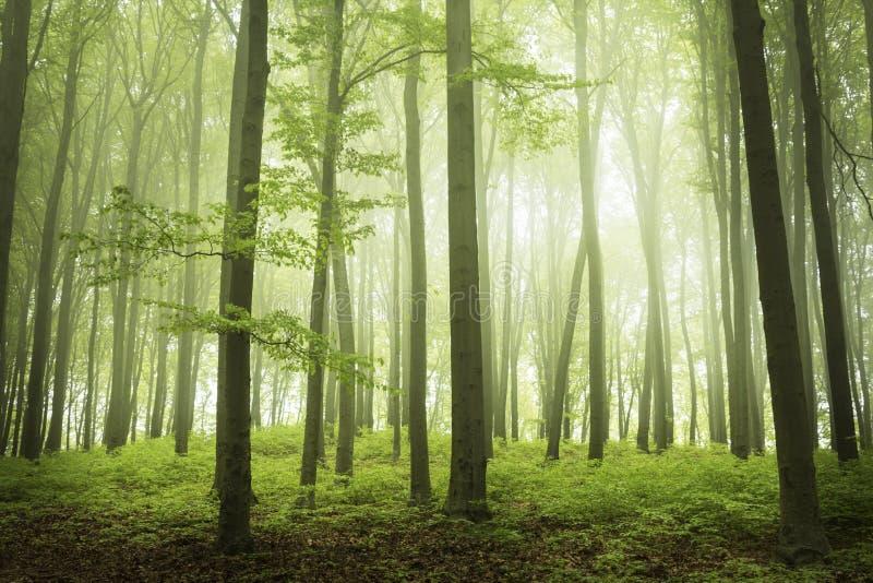 Tempo de mola na floresta do fogy foto de stock royalty free