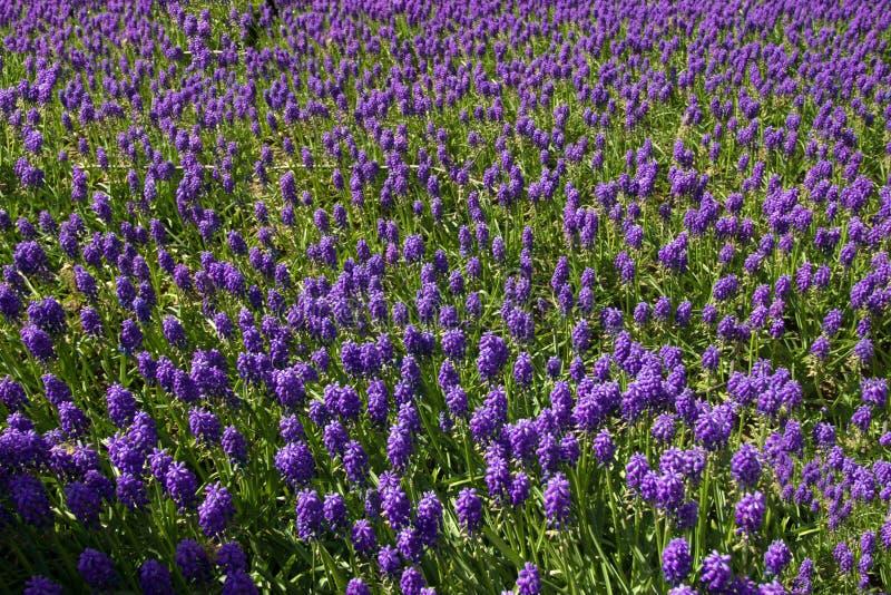Tempo de mola para Istambul abril de 2019, campo de flores roxo foto de stock