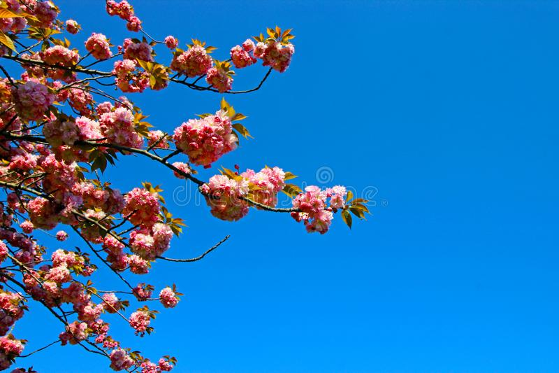 Tempo de mola para Istambul abril de 2019, florescência da árvore Opinião azul e brilhante do céu imagens de stock royalty free