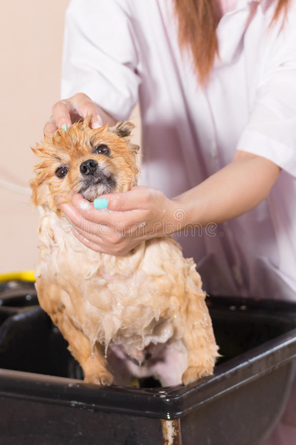 Tempo del bagno con governare pomeranian bianco della doccia immagini stock libere da diritti