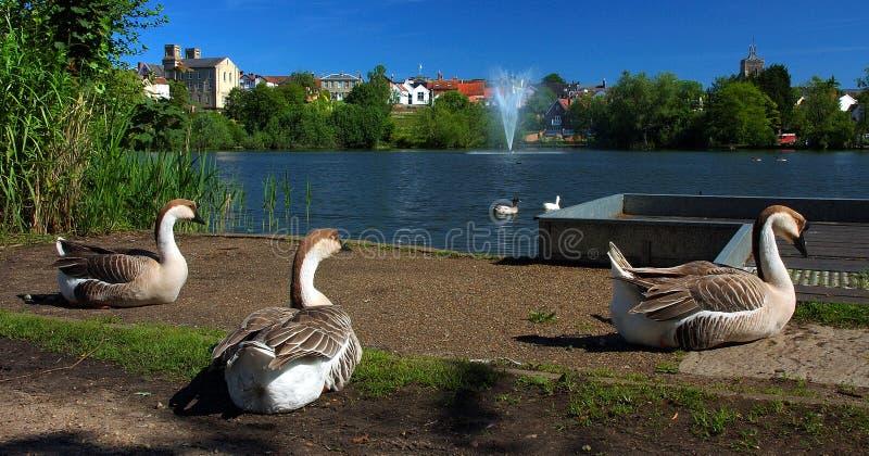Tempo delle oche del trio di rilassarsi nel mero parco di Diss fotografia stock