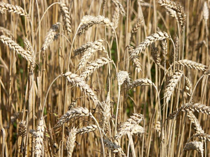 Download Tempo di raccolta immagine stock. Immagine di estate, crop - 221005