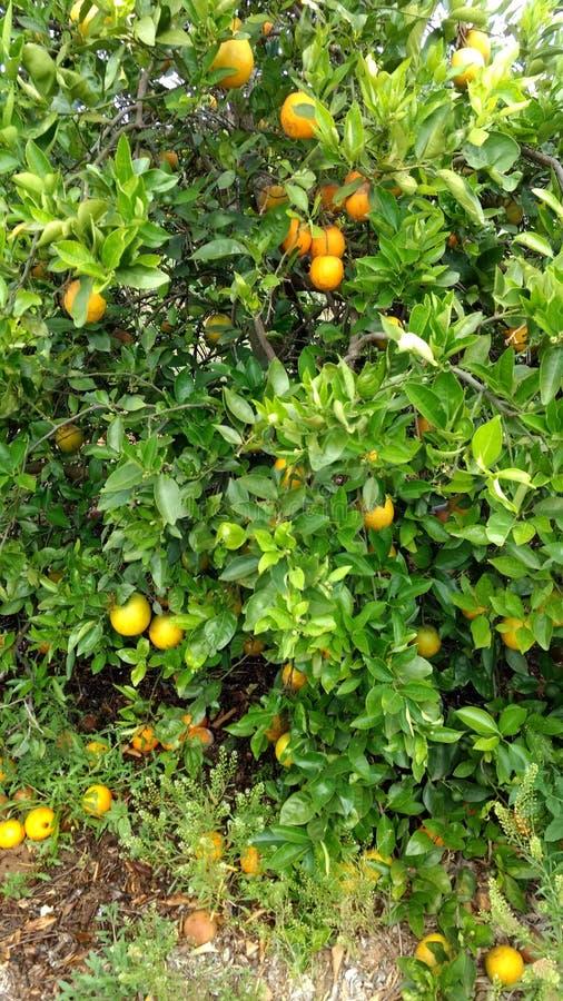 Tempo di raccolto ai boschetti arancio fotografia stock libera da diritti