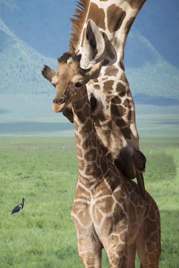 Tempo do banho da mãe e do bebê do girafa em África imagens de stock royalty free