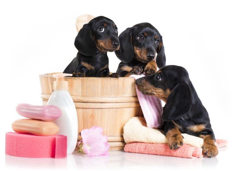 Tempo do banho do cachorrinho - cão do bassê fotografia de stock royalty free