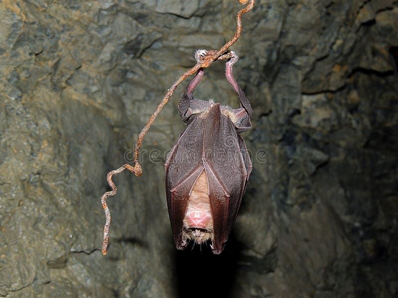 Tempo do Gym com ferrumequinum de Rhinolophus foto de stock