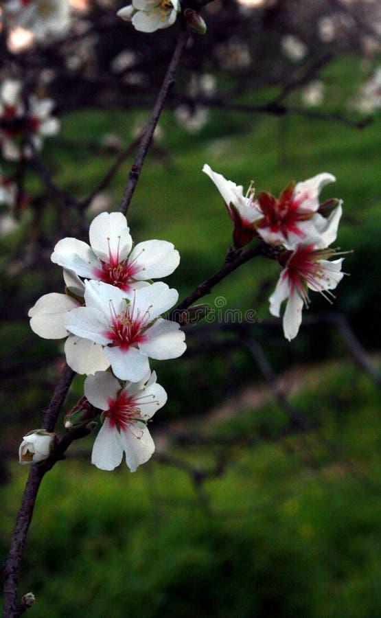 Tempo do por do sol em um dia de inverno ensolarado em Israel A flor da árvore de amêndoa imagens de stock