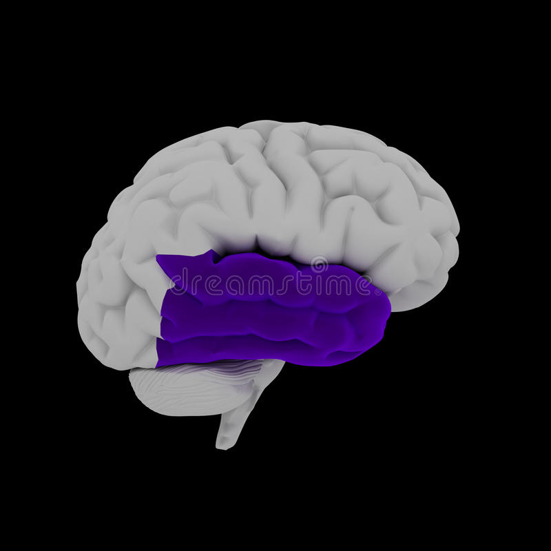 Temporal lobe royalty free illustration