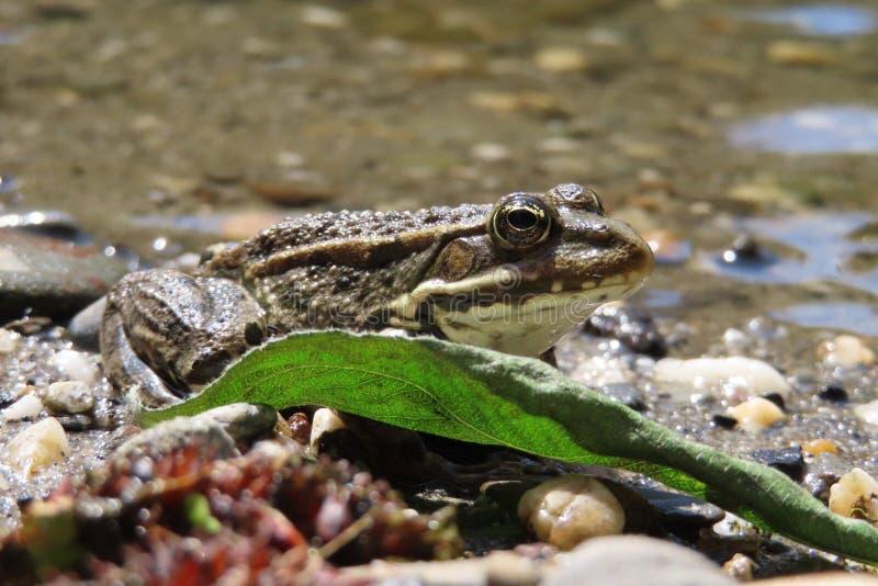 Temporaria commun européen de Rana de grenouille se cachant derrière une feuille verte photographie stock